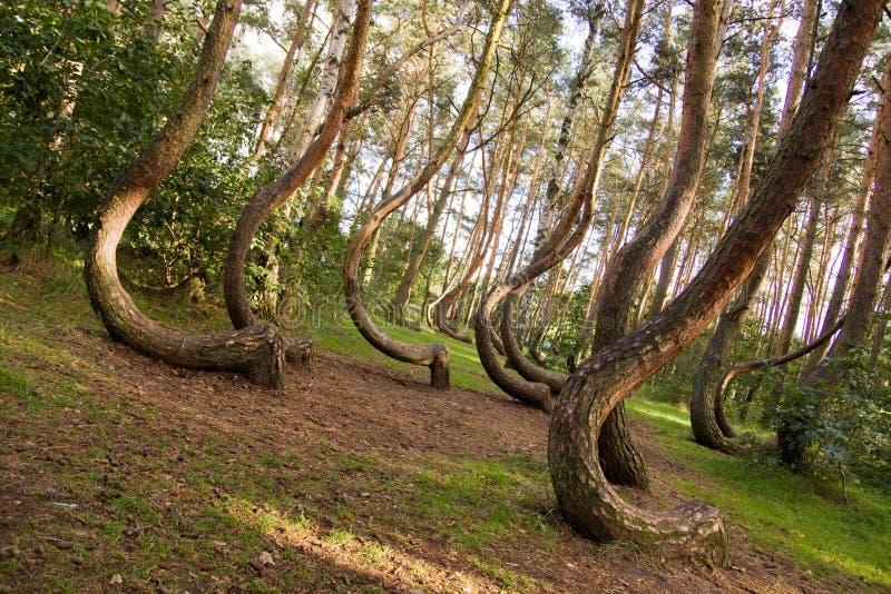 krökt skog royaltyfria bilder