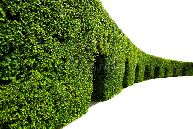 Krökt vägg av den gröna häcken arkivfoton