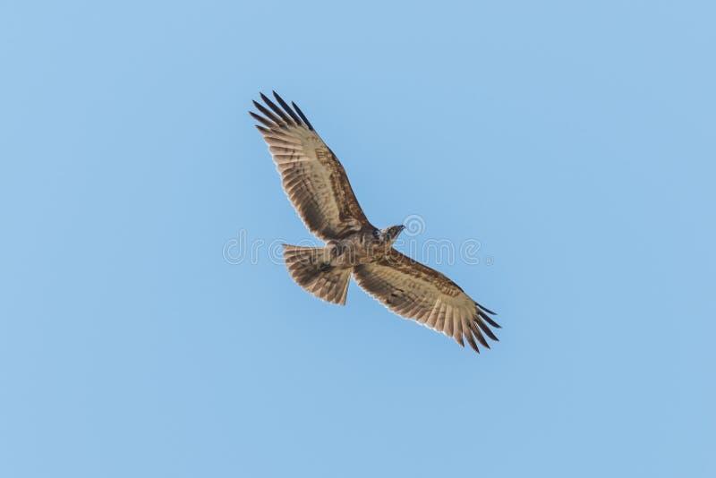 Krönad örnflygfast utgift med vingspridning royaltyfria foton