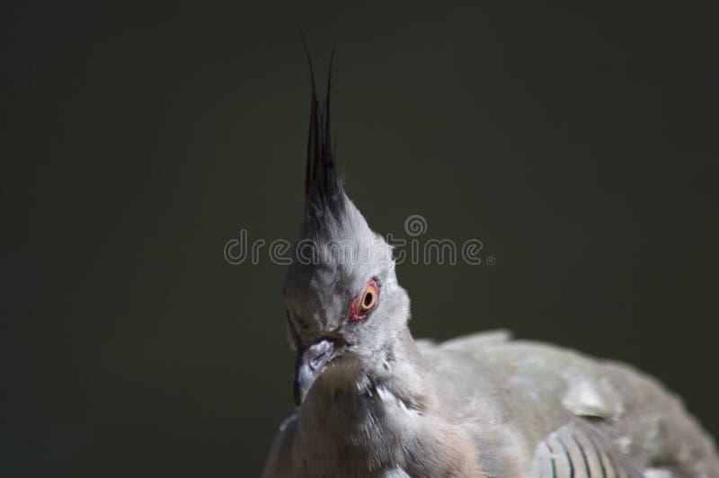 Krönad duva, fågel med mohawk royaltyfria bilder