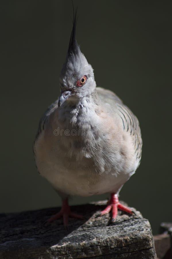 Krönad duva, fågel med mohawk royaltyfri bild