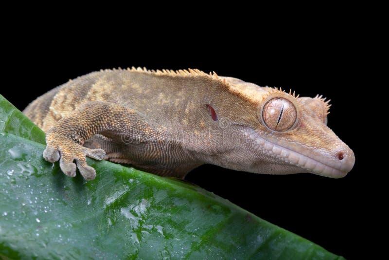 krönad gecko arkivfoto