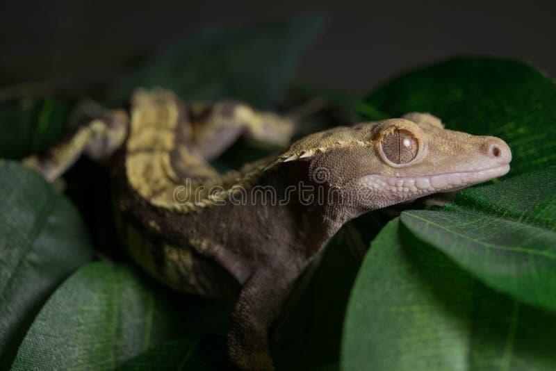 Krönad gecko på sidor fotografering för bildbyråer