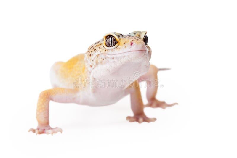 Krönad gecko som ser till sidan fotografering för bildbyråer