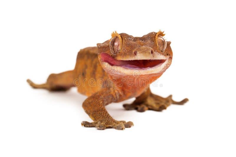 krönad gecko som slickar kanter royaltyfri bild