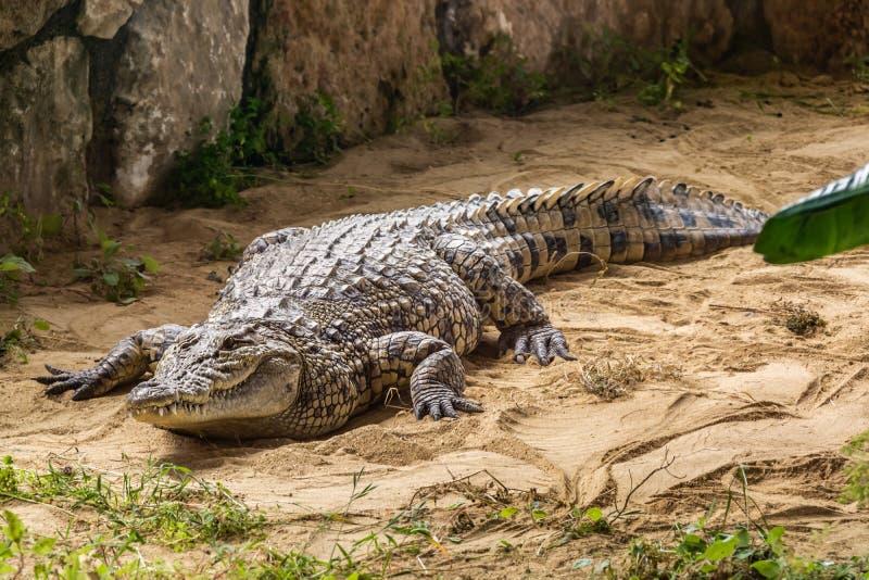 Krönad krokodil - det största djuret av denna art royaltyfria bilder