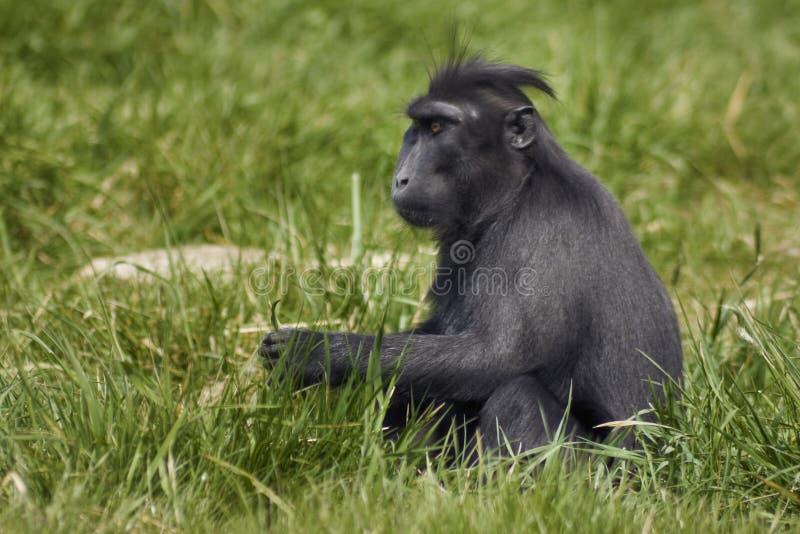 krönad macaque royaltyfri foto