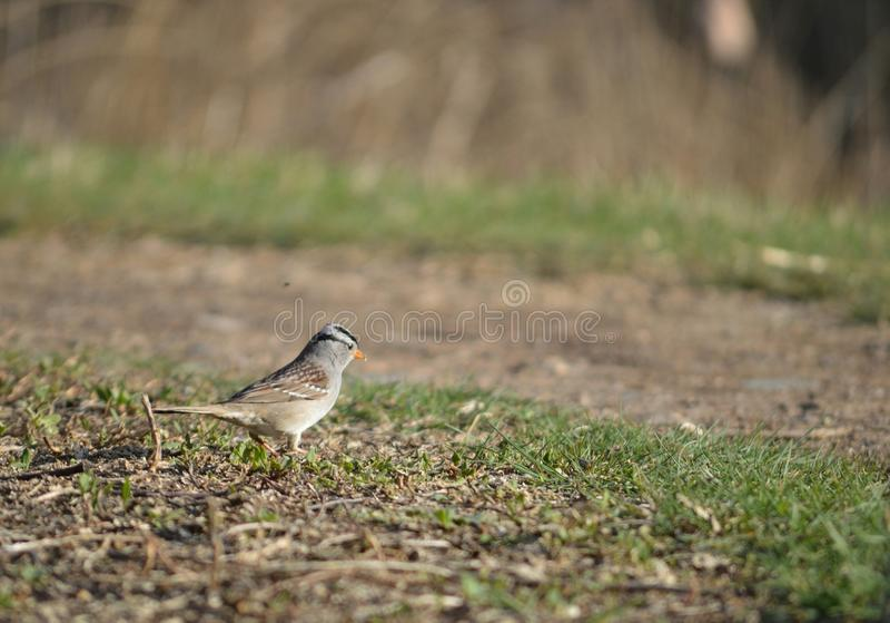 krönad sparrowwhite arkivbild