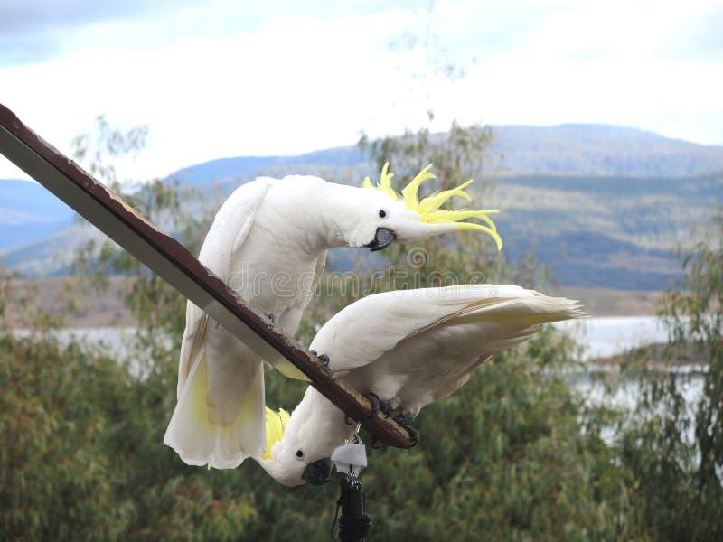 Krönade kakaduor för vit guling fotografering för bildbyråer