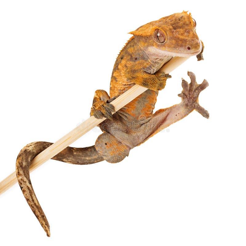Krönat geckoinnehav på en pinne royaltyfria bilder