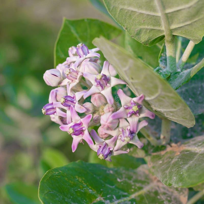 krönen Sie Blume, den riesigen indischen Milkweed, gigantisch, swallowwort stockbild