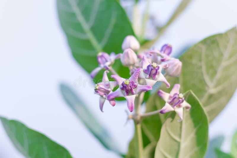 krönen Sie Blume, den riesigen indischen Milkweed, gigantisch, swallowwort lizenzfreie stockfotografie