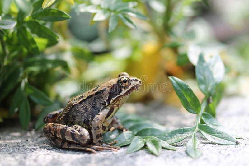 Kröte unter den Blättern stockfotografie