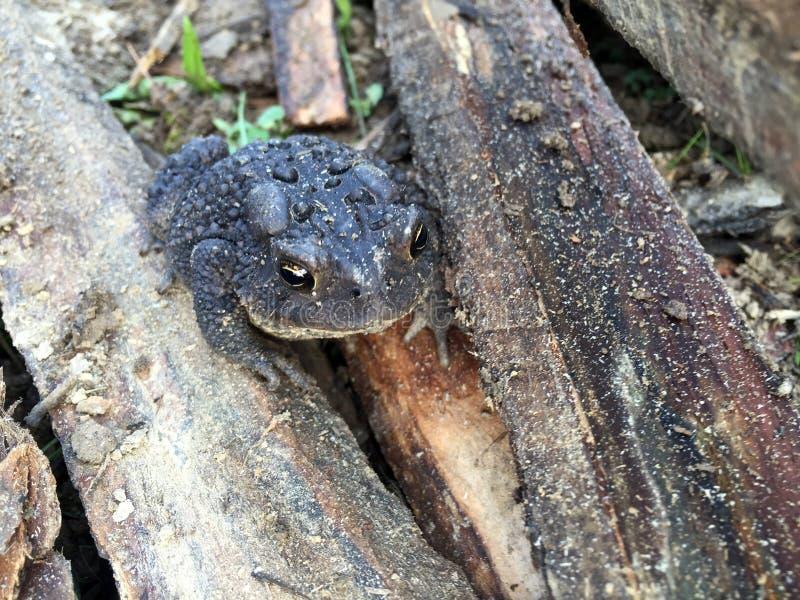 Krötenfront auf Holz stockfotos