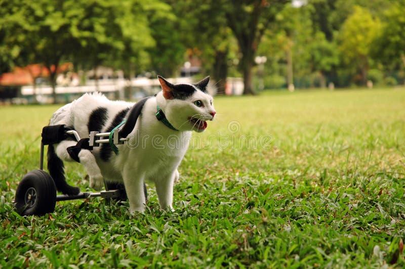 Krüppel-Katze im Rollstuhl lizenzfreies stockfoto