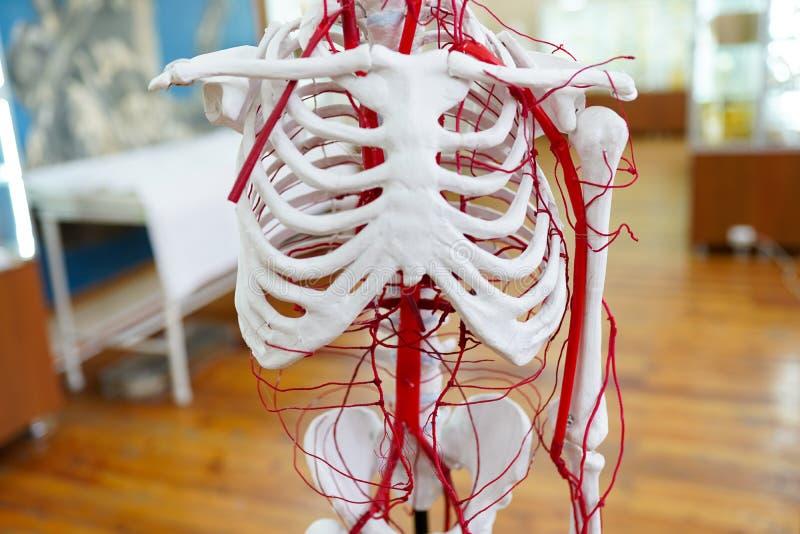 Krążeniowego systemu anatomii ludzki kościec zdjęcie royalty free