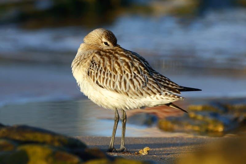 Kręcąca się pałka, Limosa lapponica, spoczywająca pod skrzydłem na plaży obraz stock