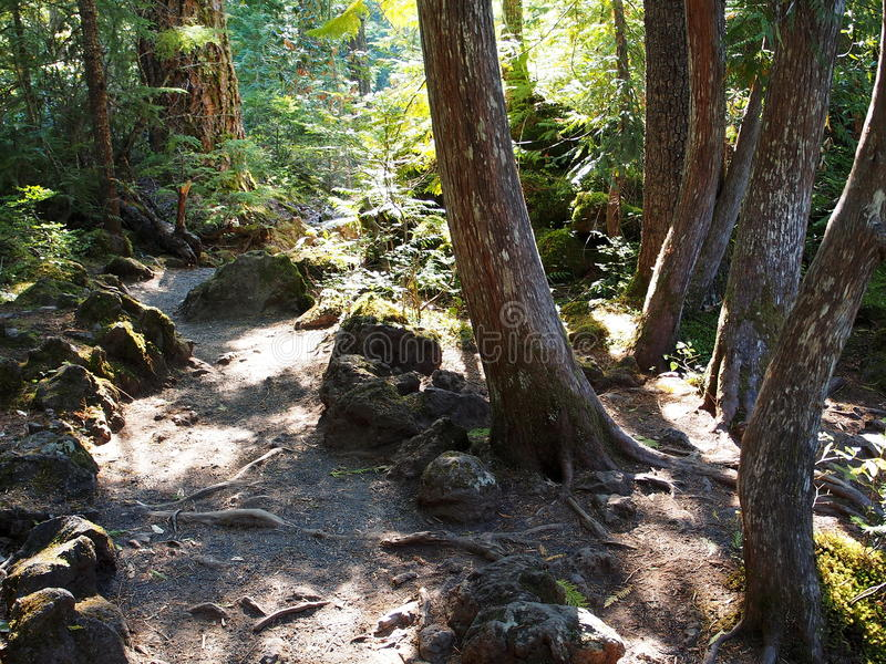 Kręceni drzewa lasową ścieżką fotografia stock