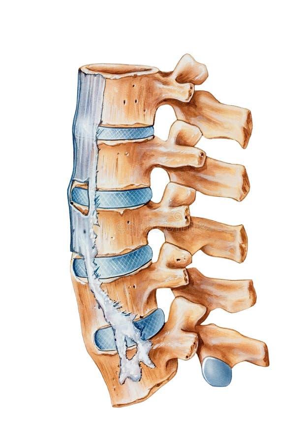 Kręgosłup - Ankylosing Spondylitis ilustracji