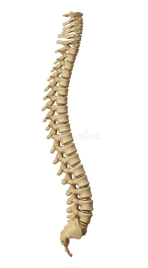 kręgosłup człowieka zdjęcie stock