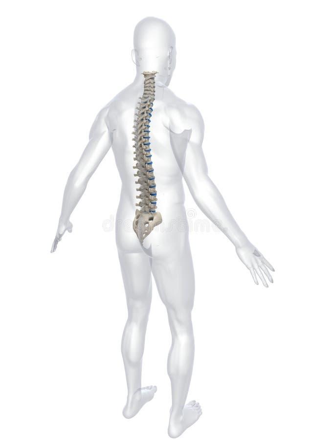 kręgosłup człowieka ilustracji