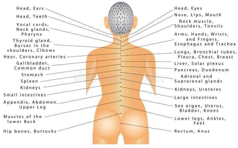 Kręgosłup - organowa korelacja ilustracja wektor