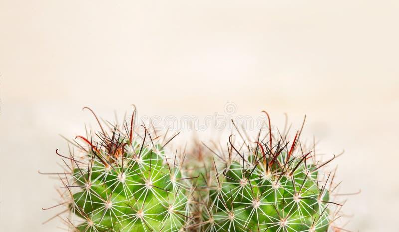 Kręgosłupy kaktus na lekkim tle Ból od hemoroidów, zgaga, gardło Makro- obraz stock