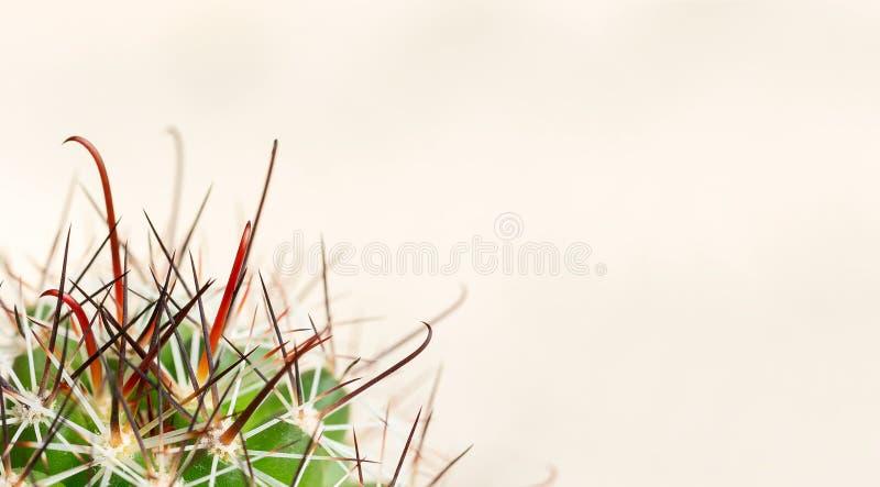 Kręgosłupy kaktus na lekkim tle Ból od hemoroidów, zgaga, gardło Makro- fotografia royalty free