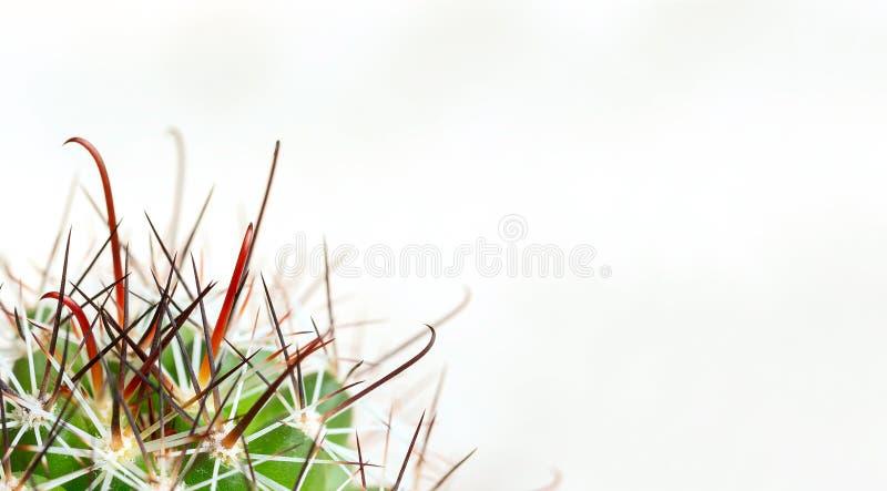 Kręgosłupy kaktus na lekkim tle Ból od hemoroidów, zgaga, gardło Makro- fotografia stock
