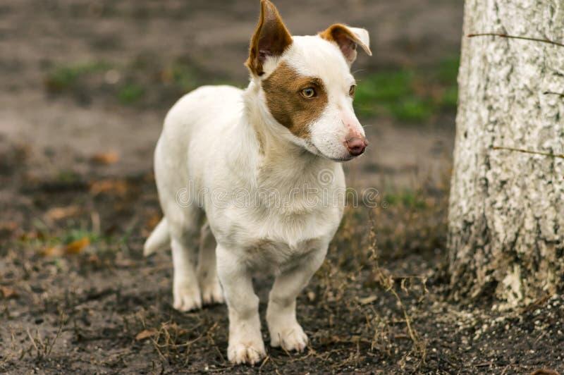 Krępy krótkonogi stawia czoło psiego strzeżenie swój terytorium fotografia royalty free