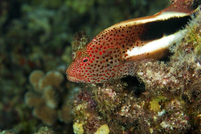 krępy rybi jastrząb obraz stock