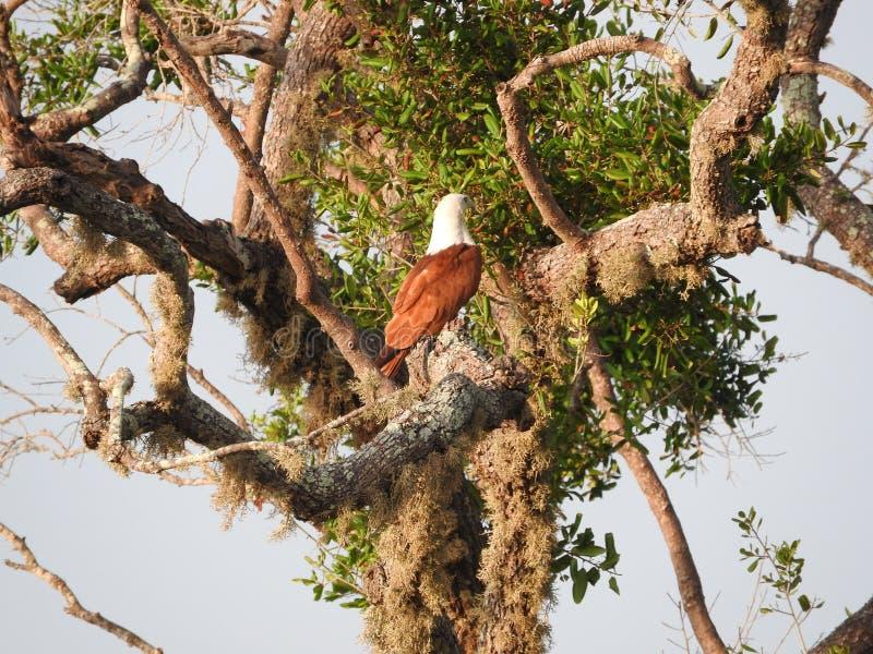 Kr?nat orm?rnsammantr?de p? tr?d mot bl? himmel, Yala nationalpark, Sri Lanka royaltyfria foton