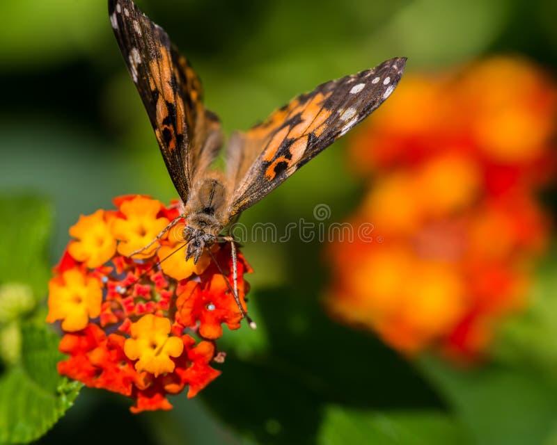 Krańcowy makro- szczegółowy zbliżenie malujący damy motyli karmienie, zapylać na wildflower/- w Minnestoa fotografia stock