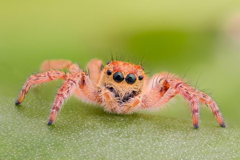 Krańcowy powiekszanie - Żółty skokowy pająk na liściu obraz stock