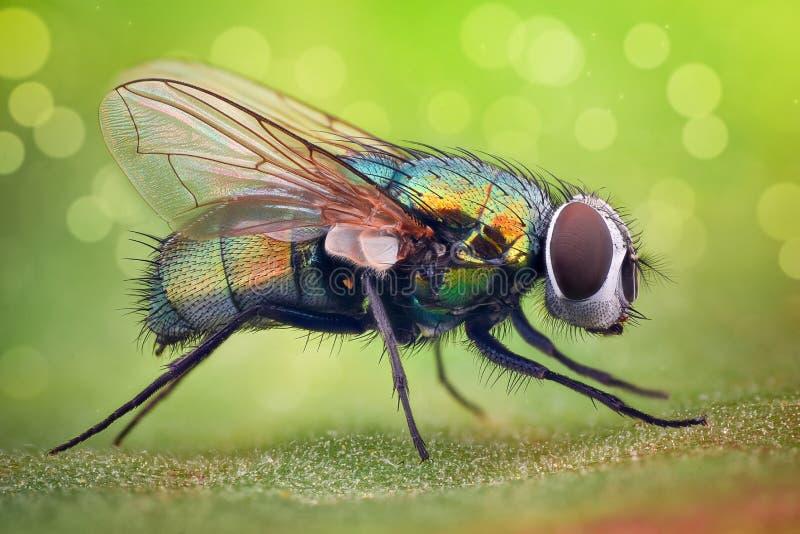 Krańcowy powiekszanie - Domowa komarnica zdjęcie stock