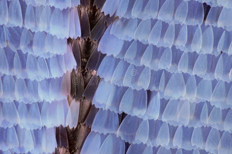 Krańcowy powiekszanie - motyla skrzydła skale, 20:1 powiekszanie zdjęcia royalty free
