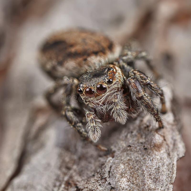 Krańcowy powiekszanie - Skakać pająka na liściu obrazy royalty free
