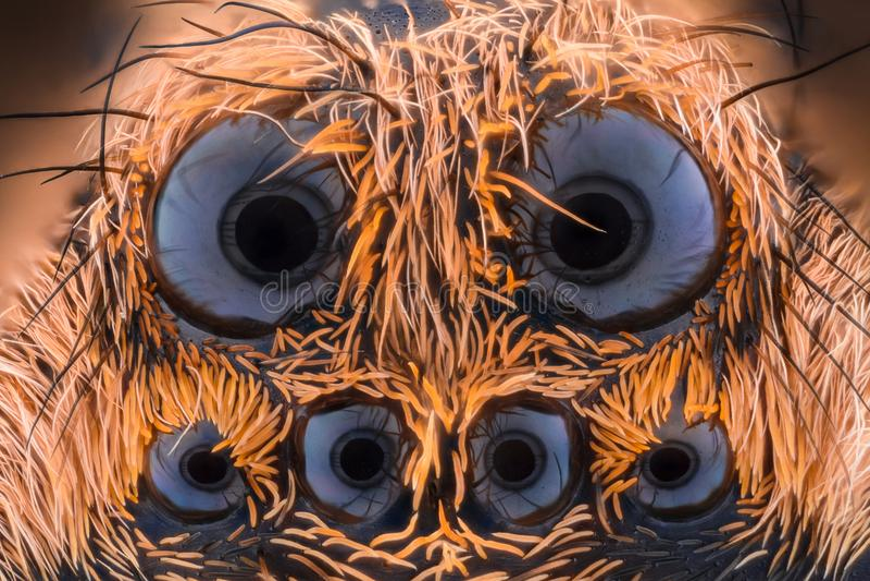 Krańcowy powiekszanie - Wilczy pająk, Lycosidae zdjęcie royalty free