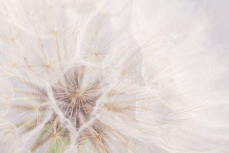 Krańcowy zbliżenia dandelion kwiatu tło zdjęcia stock
