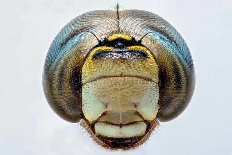 Krańcowy zbliżenie Dragonfly głowa - frontowy widok zdjęcie stock
