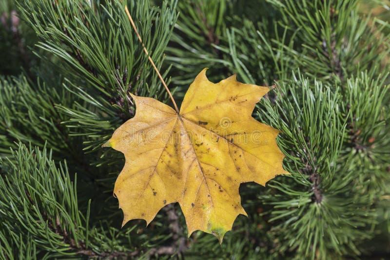 Krańcowy zbliżenie makro- kolorowy jesień liść z świetnym detai obraz stock
