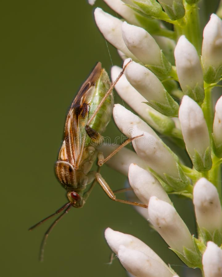 Krańcowy zbliżenie portret co pojawiać się jest gatunki smród pluskwa - insekt nabierający Minnestoa zdjęcie royalty free