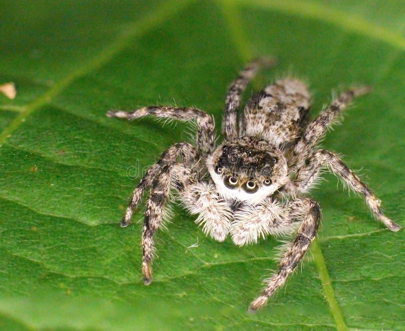 Krańcowy zbliżenie skokowy pająk obraz royalty free