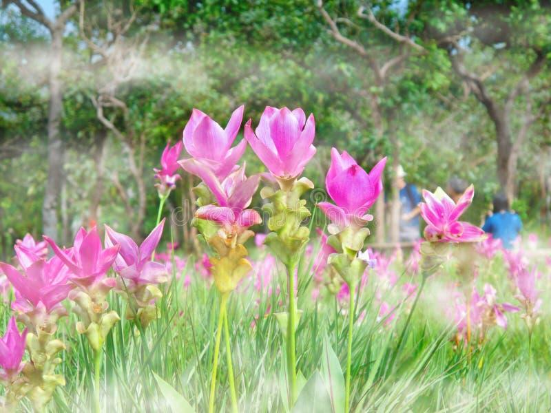 Kra焦或桃红色泰国郁金香花开花,软的焦点 免版税库存照片