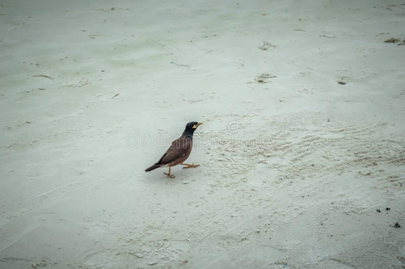 Kraai die op het strand van Koh Samet lopen royalty-vrije stock fotografie