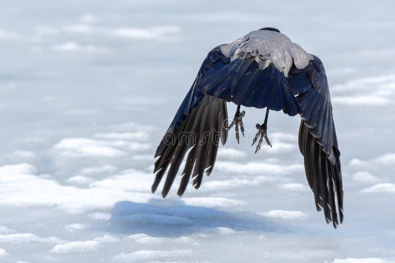 Kraai met een kap Corvus cornix stock foto