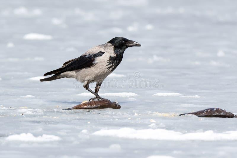 Kraai met een kap Corvus cornix royalty-vrije stock fotografie