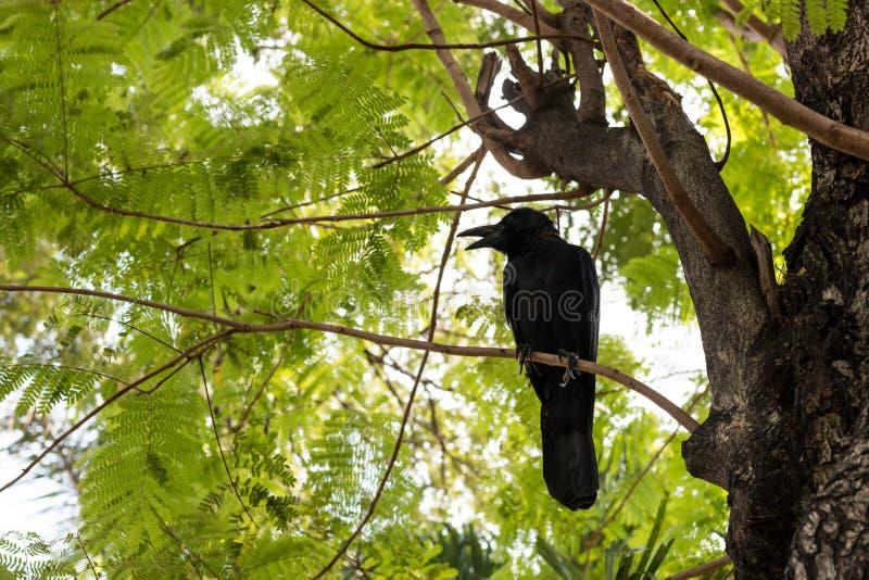 Kraai op boom stock afbeelding