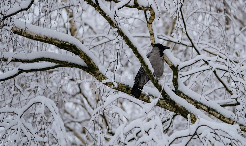 Kraai op een tak na een zware sneeuwval stock fotografie