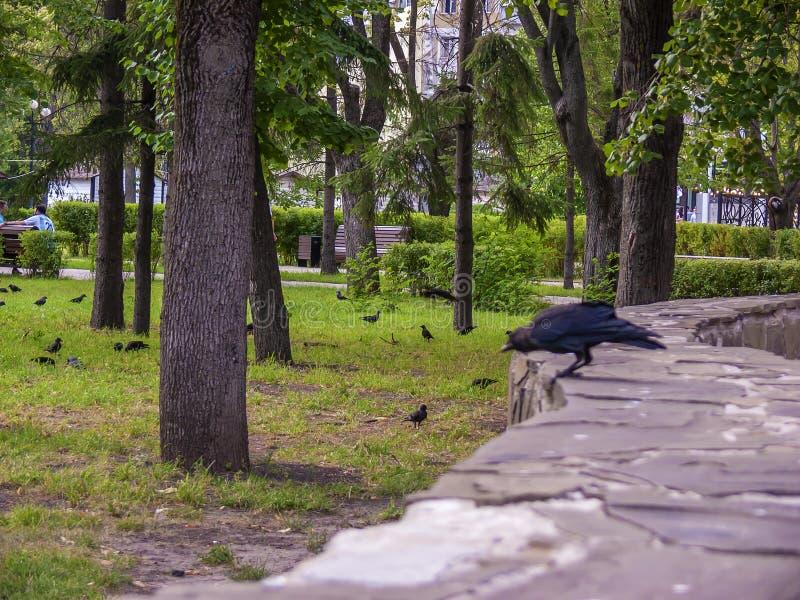 Kraaien op het groene gras Het park van de stad stock afbeeldingen